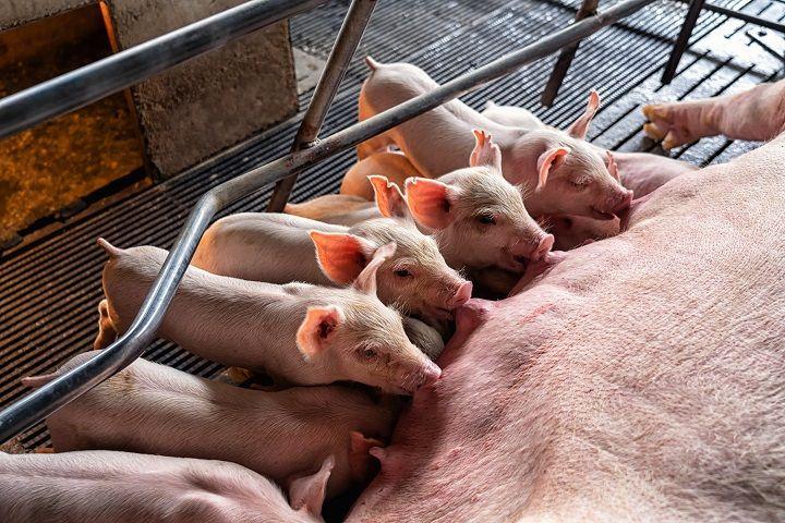 "Investimento em ""maternidade suína"" otimiza bem-estar animal na indústria suinocultora"